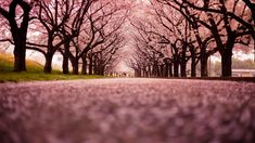 The best way to know it is spring in Japan is when the beautiful Sakura (cherry Blossom) Trees are in bloom. The Japanese have a beautiful tradition associated with these trees called Hanami, loosely translated as 'Flower Viewing'. Sakura Wallpaper, Cherry Blossom Wallpaper Iphone, Tree Hd Wallpaper, New Wallpaper Iphone, Girl Wallpaper, Desktop Wallpapers, Scenery Wallpaper, Flower Wallpaper, Wallpaper Backgrounds