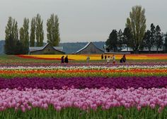 """""""Dutch Tulips in America"""" ~ The author/photographer writes, """"Springtime makes this verdant valley an hour north of Seattle explode with color, carpeting the land with hundreds of acres of tulips, daffodils and irises. The area is best known for the Skagit Valley Tulip Festival, which runs throughout April and was featured in """"1,000 Places to See Before You Die."""" Display gardens abound throughout the valley for you to visit, but you can also enjoy the living jewels without…"""" ~ by Marjorie…"""