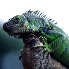 LOVE Iguanas!  Reminds me where we went on our honeymoon:)