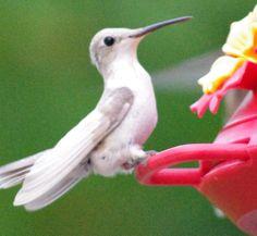 The rare luecistic hummingbird visits Innsbrook.  Photo by Jim Teeple.  www.innsbrook-resort.com