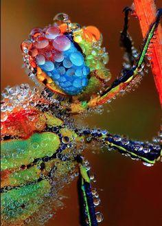 La mantis y las gotas de rocio. The Mantis and the drops of dew.