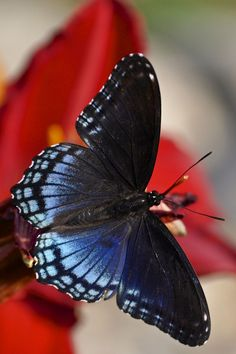 Red-spotted Purple Butterfly by Henrietta Oke Papillon Butterfly, Butterfly Kisses, Purple Butterfly, Butterfly Flowers, Flying Flowers, Butterflies Flying, Flying Insects, Bugs And Insects, Beautiful Bugs