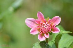 Flores Rosa Pink, Naturaleza, Flowers