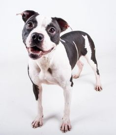 TWINKIE - URGENT - Dekalb County Animal Shelter in Decatur, Georgia - ADOPT OR FOSTER - 2 year old Female Am. Pit Bull Terrier Mix