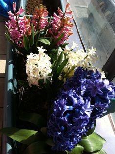 Hyacinths -my cheats! Hehe