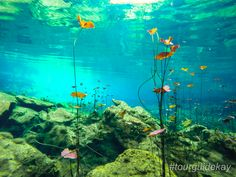 My guests like to call it an underwater garden.   #cenotes #snorkeling   #rivieramaya   #mexico   #tulum   #cancun   #playadelcarmen   #kaytours   #privatetours   #traveltips   #tourguidekay   #playadelcarmen #cancun #tulum #rivieramaya
