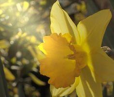 daffodils - Google zoeken