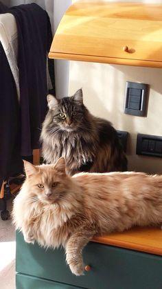 Viktor & Nala my maine coon