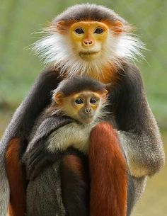 """The red-shanked douc (Pygathrix nemaeus) is a species of Old World monkey, among the most colourful of all primates. This monkey is sometimes called the """"costumed ape"""" for its extravagant appearance. Primates, Mammals, Nature Animals, Animals And Pets, Wild Animals, Monkeys Animals, Strange Animals, Unusual Animals, Beautiful Creatures"""