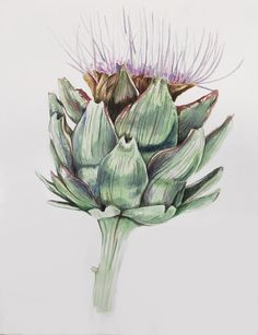 """Phillip Potter Phillip Potter """"Cyrara scolymus""""2017 watercolor and colored pencil on paper"""