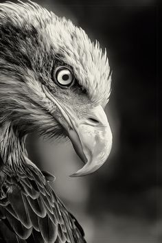 bald eagle (photo by yves schupbach). wild life photography animals bird black and white power eagle Wildlife Photography, Animal Photography, Anger Photography, Insect Photography, Beautiful Birds, Animals Beautiful, Regard Animal, Animals And Pets, Cute Animals