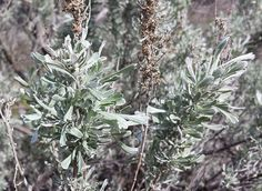 Basin+big+sagebrush+(Artemisia+tridentata+ssp.+tridentata)+ & Canopy (biology) - Wikipedia the free encyclopedia | ARID 3110 ...