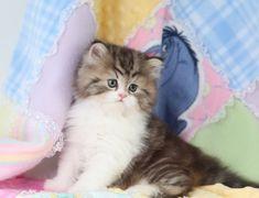 Shaded Golden & White Teacup Persian Kitten