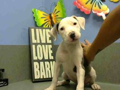 ID#A438336 (Moreno Valley, CA)  female, white and gray Pit Bull Terrier mix.  The shelter thinks I am about 13 weeks old.  I have been at the shelter since Jul 26, 2014 and I may be available for adoption on Aug 02, 2014 at 1:06PM..  ...     Mehr anzeigen  — hier: City of Moreno Valley Animal Control Services. https://www.facebook.com/135559229932205/photos/a.136024659885662.29277.135559229932205/338738969614229/?type=3&theater