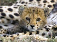Cute Animals: Baby <b>Cheetah</b> Cubs