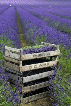 Hitchin Lavender, Cadwell Farm, Britain. By Countryside Online, via Flickr flickr by Countryside Online