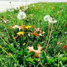 Pretty dandelions :) #myphoto