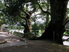 竹田神社の楠