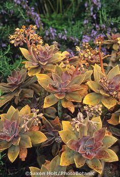 Succulent Graptopetalum paraguayense