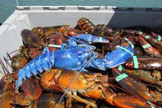A Rare Blue Lobster Was Caught Off The Coast Of Cape Cod