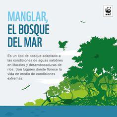 #Infografía - ¿Para qué sirve un manglar? - Manglar..