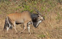 Western giant eland((Taurotragus derbianus derbianus) in The Gambia on February 2014 photographed by Paul Cools Derby, African Animals, African Safari, Very Rare Animals, Strange Animals, Beautiful Creatures, Animals Beautiful, Zoo Animals, Cute Animals