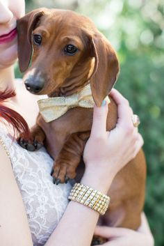 Sweet dachshund with an elegant bow!