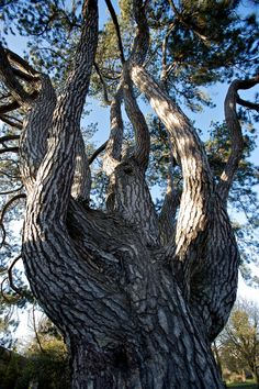"""Close-up view of one of the most glorious trees I've ever seen. It's a """"pinus nigra,"""" or European black pine tree (also called a Corsican pine). They grow to 175' tall and live for 500 years. Taken in Oxford, England."""