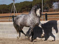 Purebred Barb horse