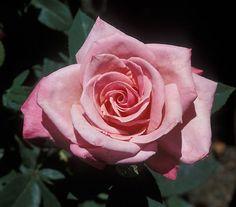 'First Prize' Hybrid Tea Rose - 3