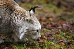 Canada lynx (Lynx canadensis) sniffing around