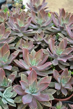 Graptoveria Fred Ives..