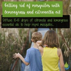 Getting rid of mosquitos with Lemongrass and Citronella Oil 🌸🌸🌸 Diffuse drops of citronella and lemongrass essential oils to help repel mosquitos. Lemongrass Oil, Lemongrass Essential Oil, Essential Oils, Repel Mosquitos, Citronella Oil, Lemon Grass, Diffuser, Rid, Instagram