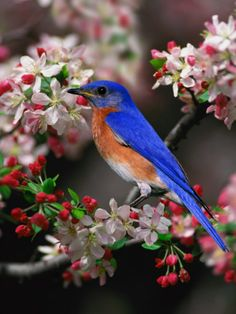 Eastern Bluebird Among Crabapple Blossoms by Adam Jones
