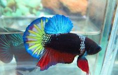 Betta fist are a fun beautiful fish that many people can have in their home with minimal effort. Betta Fish Types, Betta Fish Care, Pretty Fish, Beautiful Fish, Aquariums, Beautiful Creatures, Animals Beautiful, Tropical Fish Store, Salt Water Fish