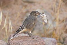 mis fotos de aves: Gaucho serrano [Agriornis montanus] Black-billed s...
