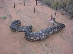 An Australian sheep farmer was puzzled at the disappearance of sheep on his farm. After a few weeks of sheep disappearing the farmer decided to put up an electric fence. World's Largest Snake, Area And Perimeter Formulas, World Biggest Snake, Anaconda Snake, Giant Anaconda, Green Anaconda, Australian Sheep, Australian Animals, Australia Pictures