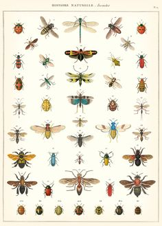Poster / inpakpapier Natural History Insects - Cavallini & Co | Meerleuks