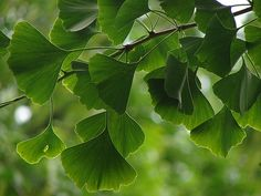 """Ginko leaves Ginger. Of all the flowering plants in your garden, this represents you best my dear. I thank you for sharing your """"love and light""""  always when I most needed it"""
