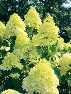 Hydrangea Limelight - I have something like this now in the front of the house...but, you have to look for them!