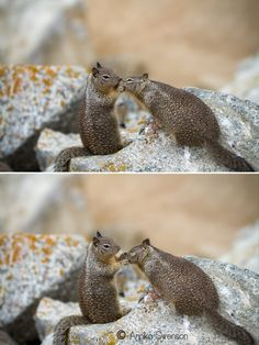 Affectionate squirrels along 17 mile drive. Monterey, California.