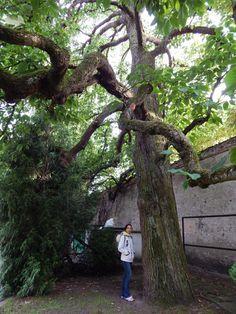 Magnolia drzewiasta w Parku Oliwskim w Gdańsku