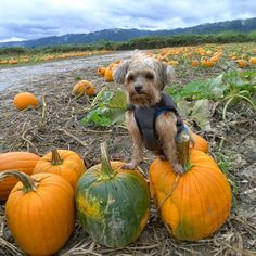Taking the Dogs to the Pumpkin Patch and Corn Maze.: