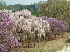 Lombkoronája gömb alakú, magassága általában 10–20 m közötti, halványsárga virágzatáért ültetik. A tizenöt évet megért példányok kezdenek virágozni.