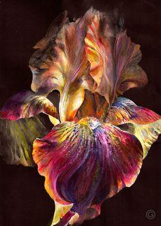 PhotoINC Studio 'Iris On Black' Canvas Art Trademark Fine Art Source by overstock Ankara Nakliyat Iris Flowers, Exotic Flowers, Beautiful Flowers, Bright Flowers, Beautiful Beautiful, Iris Painting, Painting & Drawing, Painting Flowers, Drawing Drawing