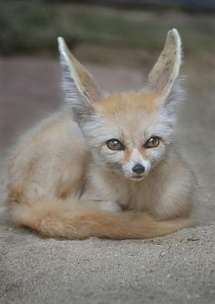 The Fennec fox or Fennec (Vulpes zerda) is a small nocturnal fox found in the Sahara of North Africa. Its most distinctive feature is its unusually large ears, which also serve to dissipate heat. Animals And Pets, Baby Animals, Cute Animals, Beautiful Creatures, Animals Beautiful, Grand Chat, Fennec Fox, Wild Dogs, Mundo Animal