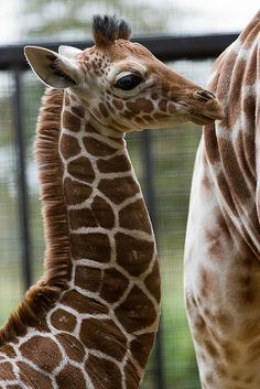 Giraffe at ZSL Whipsnade Zoo - photo by Sophie L. Miller, via Flickr