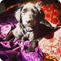 Meet Yukon a Dog for Adoption. Flat Coated Retriever, Dog Facts, Labrador Retriever Mix, Pet Adoption, Meet, Puppies, Cats, Animals, Cubs