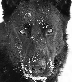 #Black #German #Shepherd