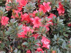 Front - Fashion Azalea. Color? Fashion Bella, Aesthetic Fashion, 90s Aesthetic, Foliage Plants, Landscaping Plants, Curb Appeal, Evergreen, Landscape, Azalea Color